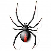 Black Widow spider. Vector.