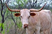 Longhorn cow in native Texas pasture