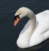 Curious Swan Portrait