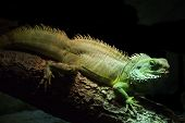 Green Common Iguana in the Dark