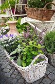 image of purple sage  - Herb leaf selection in a rustic wooden basket including - JPG