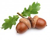 Dried acorns with leaves
