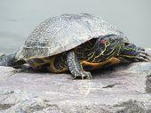 Turtle Sunning