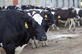 Holstein Cow in Barnyard