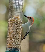 Red-bellied Woodpecker At The Peanuts