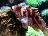 Red Grouper Fish, Oregon