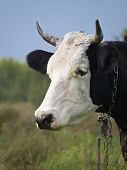 Portrait Of A Cow On A Background Of Nature
