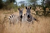 Zebras on the Savannah