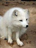 foto of arctic fox  - A beautiful fluffy Arctic fox getting ready to crouch - JPG