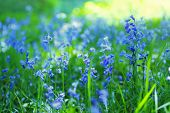 Beautiful Bluebells Close Up