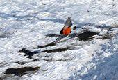 Flying Bullfinch