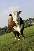 picture of hereford  - A pedigree Hereford Bull in grass pasture field looking at camera - JPG