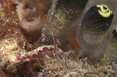 Hypselodoris Nudibranch In Lembeh Straits