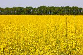 stock photo of rape-field  - rape yellow flower field - JPG