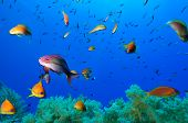 Scene   Soft corals and reef fishes of Zabargad Island Red Sea Egypt