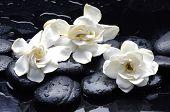 Three white gardenia flower with wet therapy stones