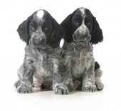 litter of puppies - two english cocker spaniel puppies sitting isolated on white background - 7 week