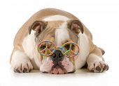 happy dog - english bulldog wearing peace sign glasses laying down isolated on white background
