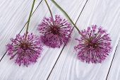 Flowers purple decorative onion Allium