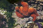 Beautiful Orange Starfish in Shallow Tide Pool.