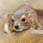Funny animal portrait of The Rock Hyrax (Procavia capensis).  It is a medium-sized african mammal. T