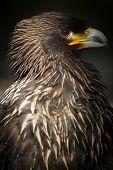 Steppe Eagle (lt. Aquila Nipalensis)