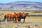 picture of mustang  - Patagonian pampas on a summer day - JPG