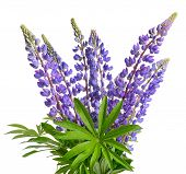 picture of bluebonnets  - Wild lupines or bluebonnet flowers on white background - JPG
