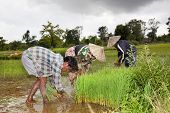 Farmers Harvesting Rice In The South Of Don Khon Laos