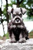picture of schnauzer  - Six week old salt and pepper Mini Schnauzer sitting outside - JPG