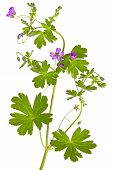 Isolated Malva Sylvestris Plant