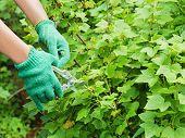 Hands With Green Garden Pruner In The Garden.