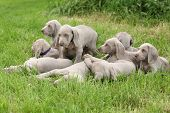 Group Of Weimaraner Vorsterhund Puppies Together