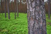 Photo Of Pine Trunk In Forest.