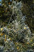 Frosted Cobweb