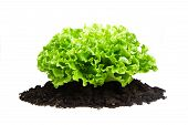 Green bush of salad on soil humus bed isolated