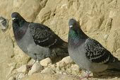Pigeons On Cliff Twins