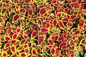 Leaves Coleus Plants