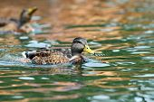 Mallard Duck Swimming On Water Surface
