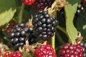 foto of blackberries  - Ripening fruits of culture blackberries  - JPG
