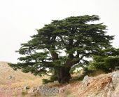Lebanese Cedar (Cedrus Libani)
