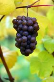 Fall Pinot Gris Grapes