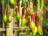 stock photo of carnivorous plants  - Nepenthes ventrata a tropical pitcher plants is a genus of carnivorous plants - JPG