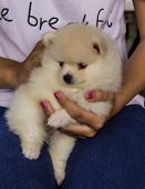 image of pomeranian  - White Puppy Pomeranian on Hand  - JPG