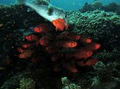 stock photo of bigeye  - A school of common bigeyes serves as shelter for a giant pufferfish - JPG