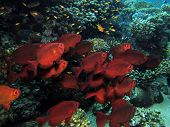 stock photo of bigeye  - A school of common bigeyes swimming against current - JPG