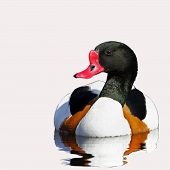 An adult male Shelduck (Tadorna tadorna).