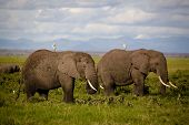 Two African elephants with cattle egrets