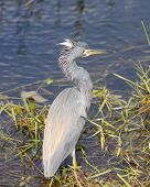 Tricolored Heron In A Wetland