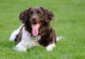 Dog (Small Muensterlander)